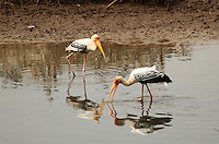 Stock photo: Pair of painted storks hunting in the marsh water in the Khijadiya Bird Sanctuary. Image is available for Editorial/Non-commercial Use Only.<br />