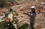 A Palestinian man picks prickly pear fruit at his field during the harvest season in the West Bank village of Lubban Ash-Sharqiya near Nablus on  August 17, 2017. Photo by Ayman Ameen