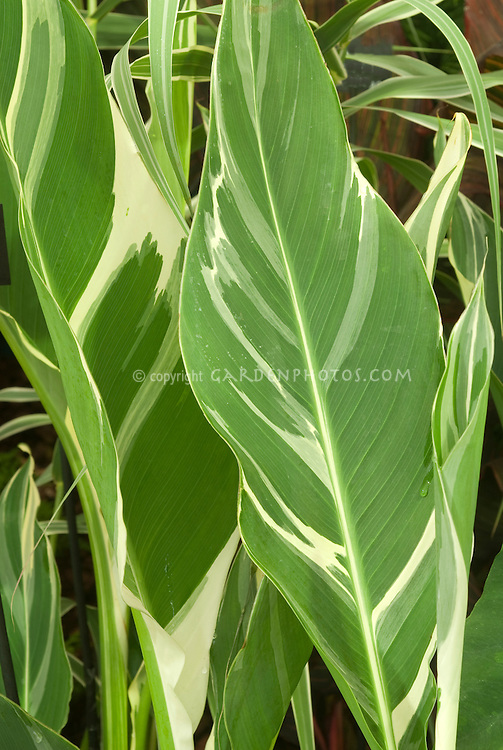Canna Stuttgart leaves variegation in green and cream white