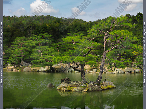 Pine trees at Japanese garden in Kyoto, Japan