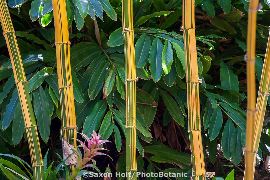 Bambusa vulgaris 'Vittata' (Painted Bamboo, Golden Hawaiian Bamboo) at San Diego Botanic Garden