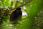 Mantled Howler Monkey (Alouatta palliata) young in tree, Tortuguero National Park, Costa Rica