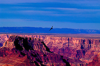 California condor riding the thermals over the Grand Canyon.