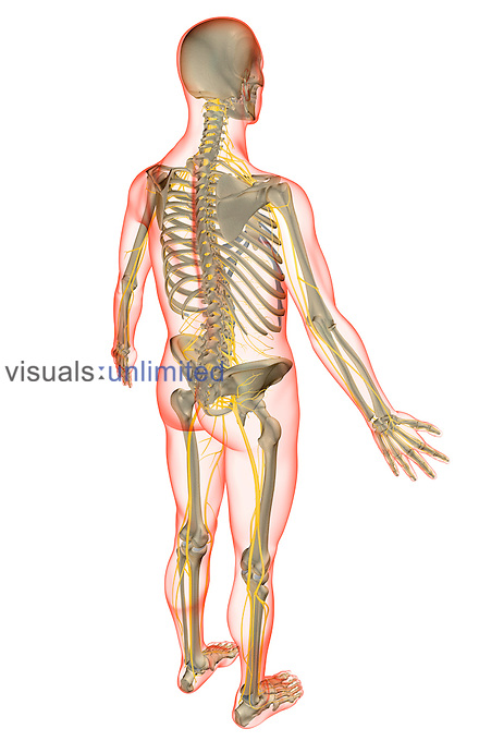 A superior posterolateral view (right side) of the nervous system. The surface anatomy of the body is semi-transparent and tinted red. Royalty Free