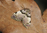 The Streamer - Anticlea derivata