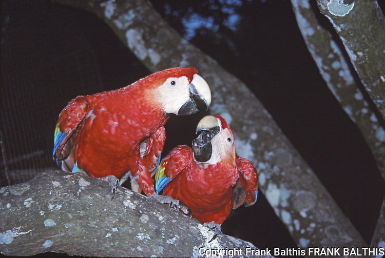 scarlet macaws at night in Costa Rica