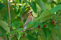 CEDAR WAXWING (Bombycilla cedrorum) sitting in mulberry tree.  Southern U.S., May.