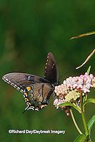03023-01920 Eastern Tiger Swallowtail (Papilio glaucus)  female on Swamp Milkweed (Asclepias incarnata) Marion Co.  IL