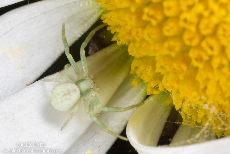 Spiderling of Goldenrod Crab Spider (Misumenia vatia). Derbyshire, UK. September.