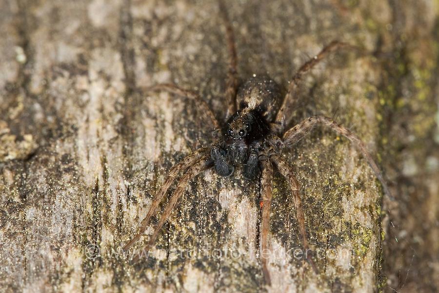 Dunkle Wolfspinne, Wolfsspinne, Männchen, Pardosa amentata, Spotted Wolf spider, Wolfspinnen, Wolfsspinnen, Lycosidae, wolf spiders, ground spiders