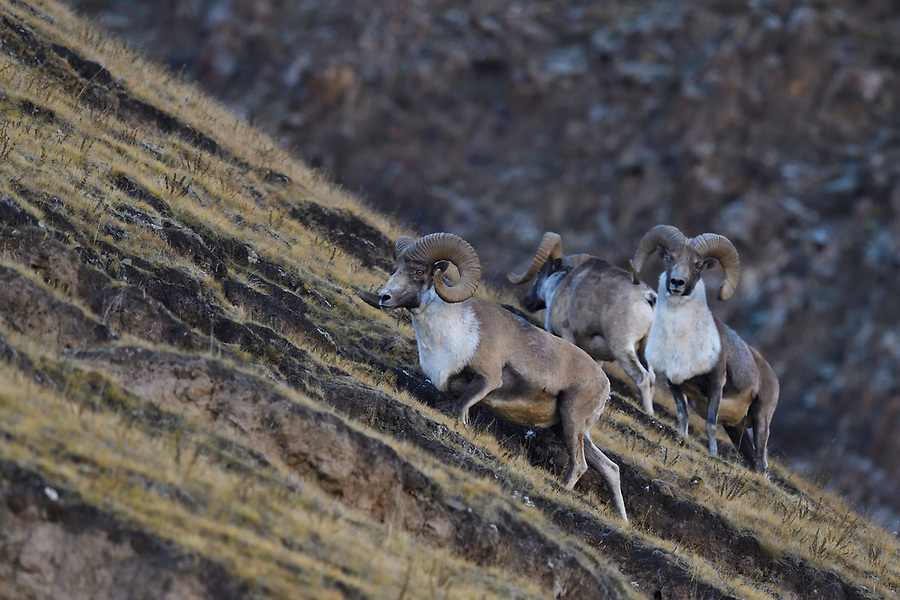 Argali, or the mountain sheep (Ovis ammon), Zhidua, Tibetan Plateau, Qinghai, China
