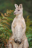 Western Grey Kangaroo (Macropus fuliginosus), adult standing, Australia