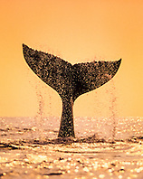 humpback whale, Megaptera novaeangliae, tail-slapping or lobtailing at sunset, fluke silhouette, Hawaii, USA, Pacific Ocean