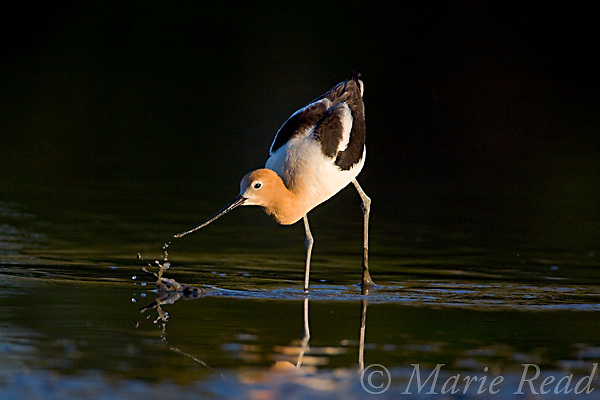 American Avocet (Recurvirostra americana) feeds by sweeping its bill through shallow water making a splash as it captures food, California, USA