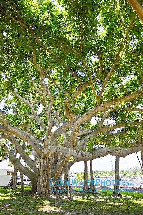 banyan tree, Ficus sp., Jupiter, Florida, USA, Atlantic Ocean