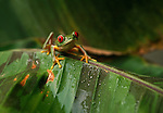 A Red-Eyed Tree Frog from Central America on a rain-soaked leaf.