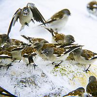 Schnee-Sperling, Schneesperling, Schneefink, Schnee-Fink, Schnee-Spatz, Schneespatz, Montifringilla nivalis, Snow Finch, white-winged snowfinch, snowfinch, La Niverolle alpine