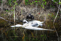 Sometimes the King of the Everglades is on the menu. This black vulture in Florida's Fakahatchee Strand perches on the floating corpse of an alligator that has been dead for several days.