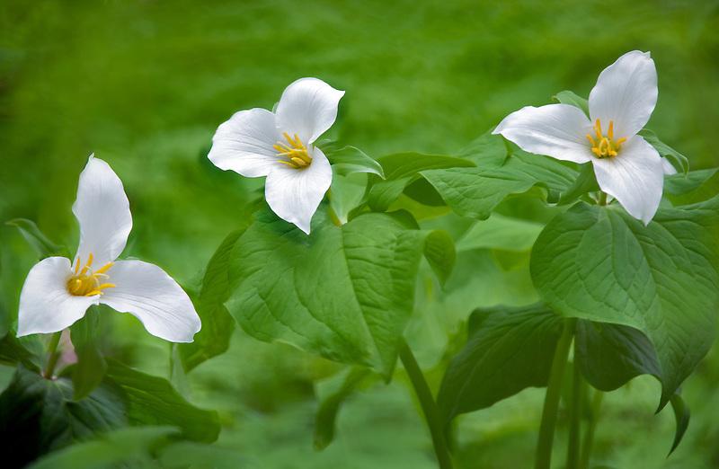 Close up of three Western Trilliums (trillium ovatum). Tryon Creek State Park, Oregon