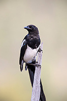 Black-billed Magpie (Pica hudsonia), juvenile in Rocky Mountain National Park, Colorado.