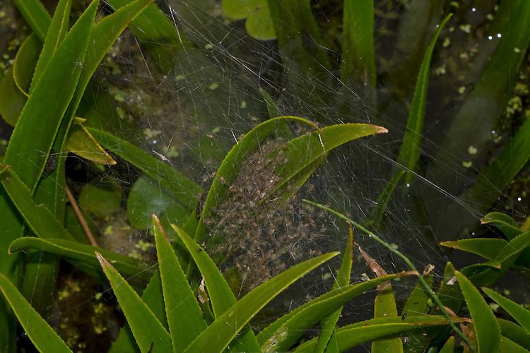 Fen Raft Spider - Dolomedes plantarius- spiderling nursery