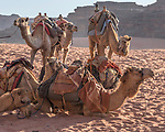 Dromedaries or Arabian camels, Camelus dromedarius, in the Wadi Rum Protected Area, a UNESCO World Heritage Site.