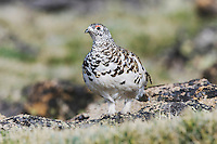 White-tailed Ptarmigan,Lagopus leucurus,adult male in summer plumage on alpine tundra, Rocky Mountain National Park, Colorado, USA, June 2007