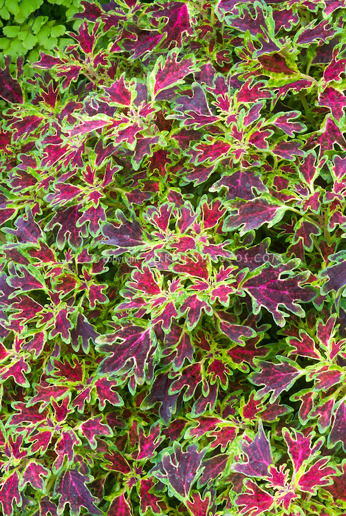 Solenostemon (Coleus) 'Wisley Tapestry' duckfoot type foliage annual plant, in colors of red and green and maroon purple