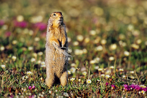 Arctic Ground Squirrel (Spermophilus parryii) among wildflowers.  Arctic National Wildlife Refuge, Alaska.  Summer.