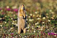 Arctic Ground Squirrel (Spermophilus parryii) among wildflowers.  Arctic National Wildlife Refuge, Alaska.  Summer.