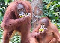 Borneo Orangutan Mom and Baby Eating