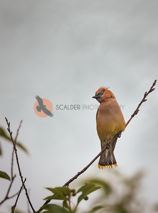 Cedar Waxwing perched on a branch, facing camera