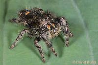 0116-1006  Bold Jumper, Phidippus audax  © David Kuhn/Dwight Kuhn Photography