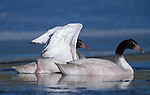 Black Necked Swans