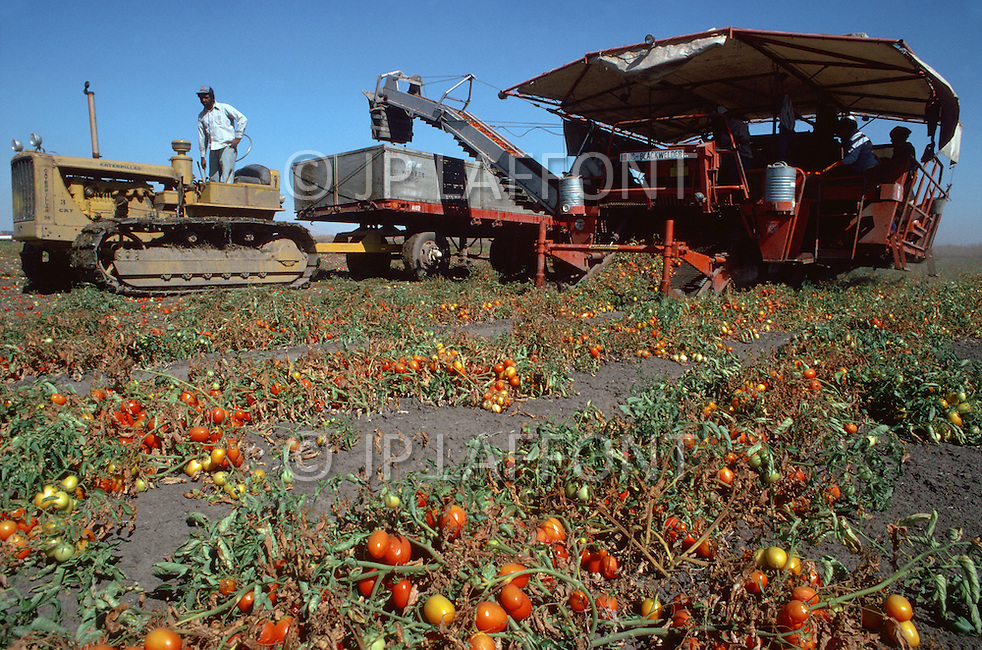 Callifornia, USA, September, 1978. Agriculture - the picking of tomatoes and their separation at Robbind, California.