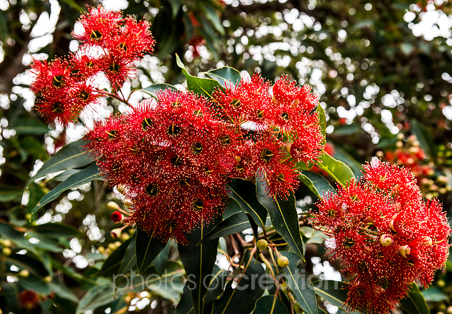 Australian NativeRed flowering Gum