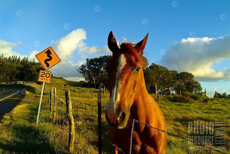 Friendly horse behind a fence along Haleakala Highway in the community of Kula, on the slopes of Haleakala volcano, Upcountry Maui
