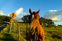Friendly horse behind a fence along Haleakala Highway in the community of Kula, on the slopes of Haleakala volcano, Upcountry Maui