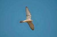 Lesser Kestrel - Falco naumanni - male