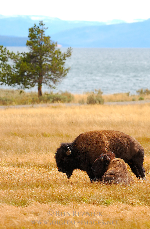 Bison, Yellowstone Lake, Yellowstone National Park, Wyoming