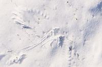 Flügelabdruck im Schnee, Krähe hat beim Auffliegen Abdrücke ihrer Flügel im Schnee hinterlassen, Rabenkrähe, Aaskrähe, Corvus corone corone, carrion crow