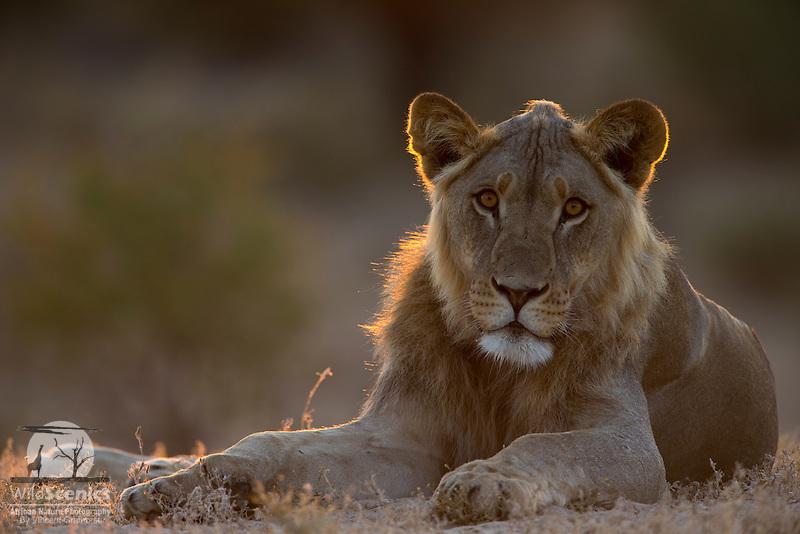 Rim-lit subadult male lion