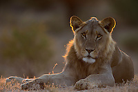 Rim-lit subadult male lion