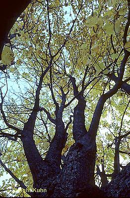 TT12-007a  Red Maple - spring, new leaves - Acer rubrum