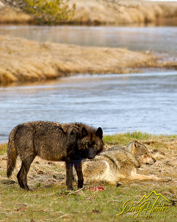 Two Wolves, Gibbon River, Yellowstone National Park
