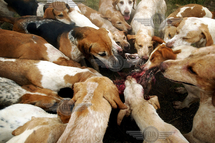 A pack of hounds tear into a fox during the last legal hunt of the Royal Artillery Hunt, Wiltshire before the fox-hunting ban came into effect on 18th February 2005...