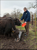 BNPS.co.uk (01202 558833)<br /> Pic: PhilYeomans/BNPS<br /> <br /> Helen with the smaller female Yaks.<br /> <br /> An enterprising farming couple have taken the unusual step of introducing the Himalayan Yak to the rolling fields of rural Cheshire.<br /> <br /> The fearsome looking bovid, more normally found in freezing temperatures on the tibetan plateau, has been introduced to Britain for the first time in an attempt to boost production in the dairy herd, as well as for the potential health benefits of its low cholestrol meat.<br /> <br /> Unlike domestic cattle the frisky Yaks can be left out in all weathers, happy dealing with temperatures as low as -40 - They also sport four foot wide horns, are very nimble on their feet and are quite capable of jumping a five bar gate if spooked.<br /> <br /> Helen and Matt Worth from Congleton are confidant their Yak breeding plans will catch on although it is unlikely the grunting of Yaks will replace the mooing of traditional cattle any time soon.