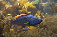 Kuckucks-Lippfisch, Kuckuckslippfisch, Kuckucks - Lippfisch, Männchen, Labrus bimaculatus, Labrus mixtus, Cockoo Wrasse