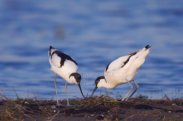 Pied Avocet, Recurvirostra avosetta, pair at nest, National Park Lake Neusiedl, Burgenland, Austria, Europe