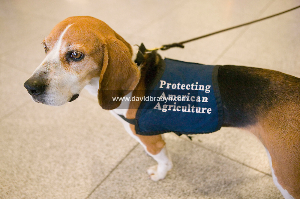 11 April 2006 - New York City, NY - 3 year-old Beagle Alexandra, aka Alex, from the Agricultural division of the Custom and Border Protection agency, takes a break from searching through passengers' luggage for illegally imported food at the JFK airport in New York City, US, 11 April 2006. Photo Credit: David Brabyn